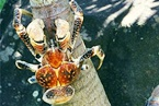 SRL_-Coconut_Crab_lg